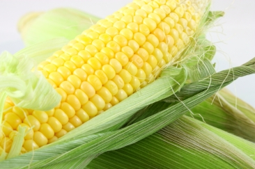 fresh-picked-corn[1]